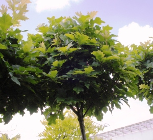 quercus palustris 39 green dwarf 39 planten. Black Bedroom Furniture Sets. Home Design Ideas