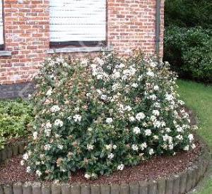 viburnum tinus 39 eve price 39 planten. Black Bedroom Furniture Sets. Home Design Ideas