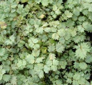 Acaena buchananii