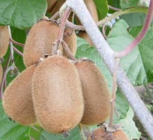 Actinidia chinensis 'Hayward'