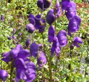 Aconitum henryi 'Spark's Variety'