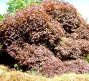Acer palmatum 'Atropurpureum'