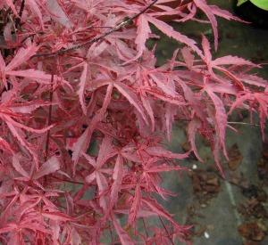 Acer palmatum 'Beni-komachi'
