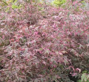 Acer palmatum 'Maria Anna'