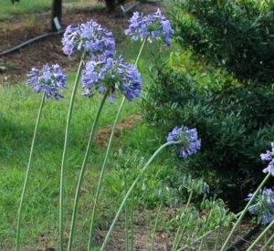 Agapanthus 'Headbourne hybrids' Blue