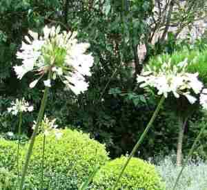 Agapanthus 'Headbourne hybrids' White