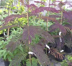 Albizia julibrissin 'Summer Chocolate' (r)