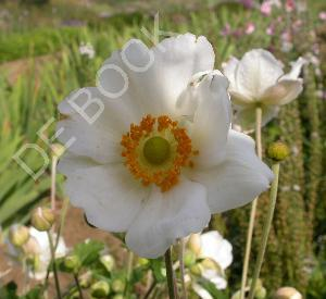 Anemone hybrida 'Coupe d'Argent'