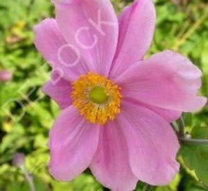 Anemone hupehensis 'Crispa'