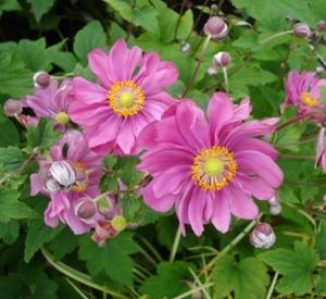 Anemone hybrida 'Margarethe'