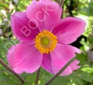 Anemone hybrida 'Rosenschale'