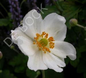 Anemone hybrida 'Whirlwind'