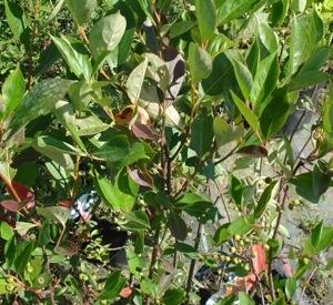 Aronia prunifolia 'Hugin'