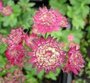 Astrantia hybride 'Moulin Rouge'