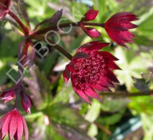 Astrantia major 'Rubra'