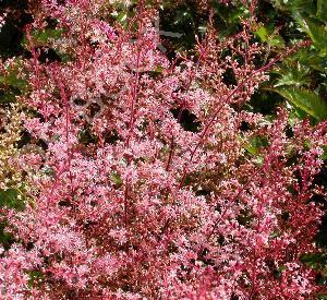 Astilbe simplicifolia 'Inshriach Pink'