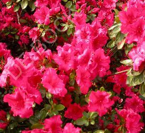 Azalea japonica 'Vuyk's Scarlet'