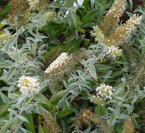 Buddleja 'White Ball'