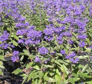 Caryopteris clandonensis 'Grand Bleu'