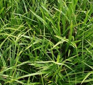 Carex morrowii 'Variegata'