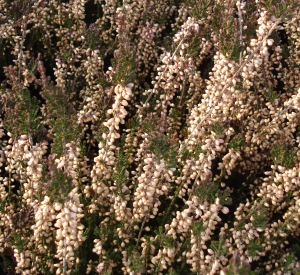 Calluna vulgaris 'Mariska'