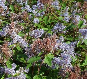 Ceanothus 'Marie Bleue'