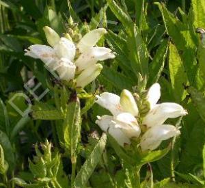 Chelone obliqua 'Alba'