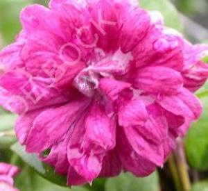 Clematis viticella 'Purpurea Plena Elegans'