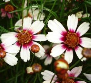 Coreopsis rosea 'Sweet Dreams' (r)