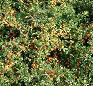Cotoneaster suecicus 'Coral Beauty'