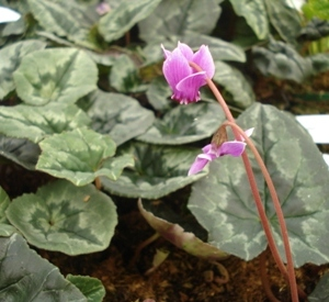 Cyclamen hederifolium roze