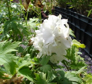 Delphinium magic fountain 'Pure White'