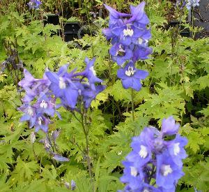 Delphinium pacific 'Blue Bird'
