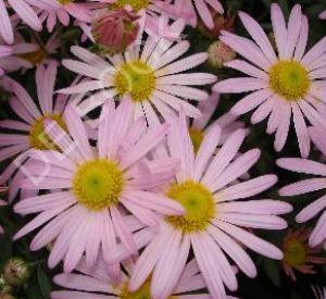 Dendranthema rubellum 'Clara Curtis'