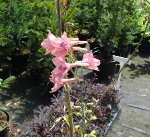 Delphinium ruysii 'Pink Sensation'