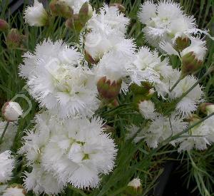 Dianthus plumarius 'Mrs Sinkins'