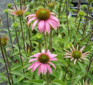 Echinacea purpurea 'Kim's Knee High' (r)