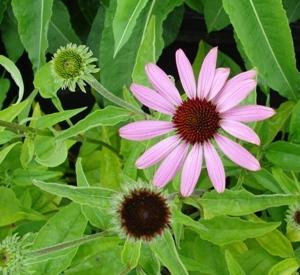 Echinacea purpurea 'Prairie Splendor' (r)