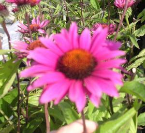 Echinacea purpurea 'Vintage Wine' (r)