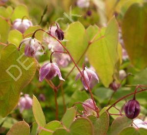 Epimedium youngianum 'Roseum'
