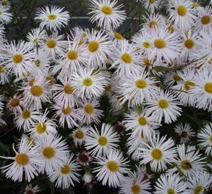 Erigeron hybride 'Sommerneuschnee'