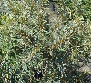 Hippophae rhamnoides 'Pollmix'