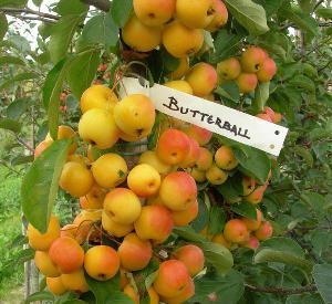 Malus 'Butterball'