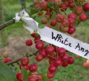 Malus 'White Angel'