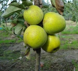 Malus domestica 'Ananas Reinette'