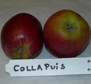 Malus domestica 'Colapuy'
