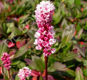 Persicaria affine 'Kabouter'