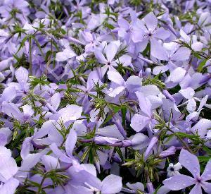 Phlox divaricata 'Clouds of Perfume'