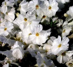 Phlox douglasii 'White Admiral'