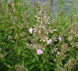 Phlox maculata 'Natascha'